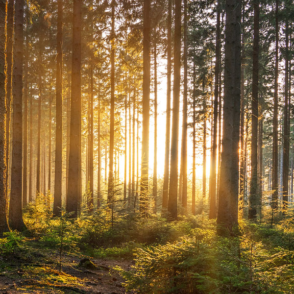 sun shining through trees in a forest representing mindfulness